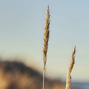 Korn som vokser i en åker